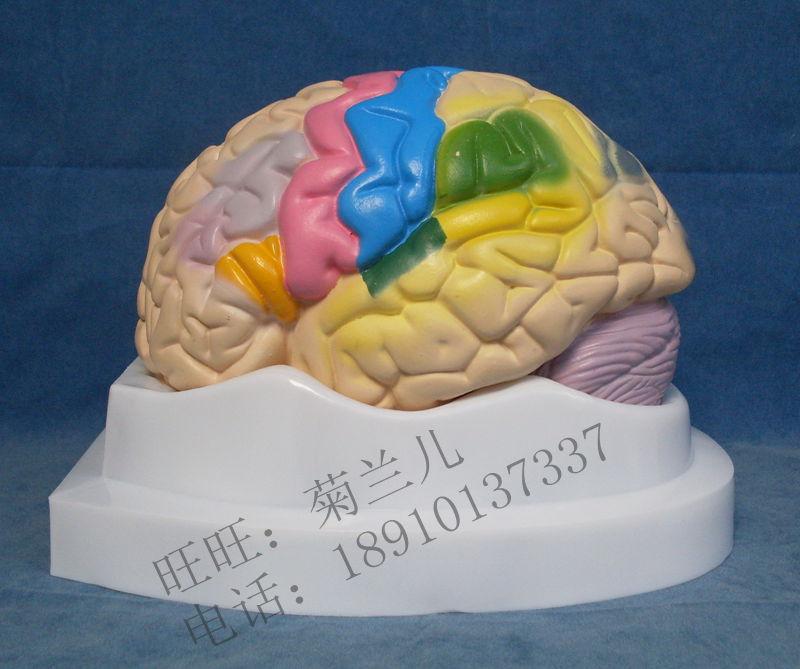 Función cortical localización función cerebral zonificación ...