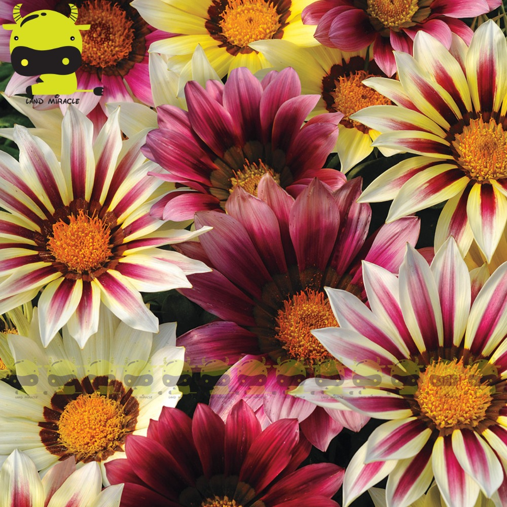 Buy Daisy Flowers Care And Get Free Shipping On Aliexpress