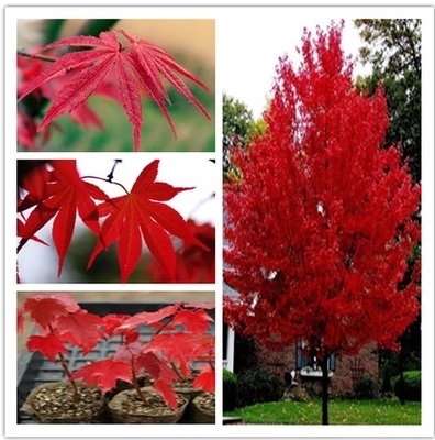 10 seeds/bag Authentic imported U.S. seed autumn flame maple tree seeds seedlings and technical guidance to ensure