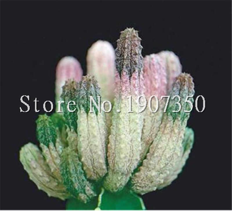 100 pcs Exotic Cactus bonsai Japanese Rare Succulents plants Flower Indoor Plantas Perennial Flowers Garden Purify The Air