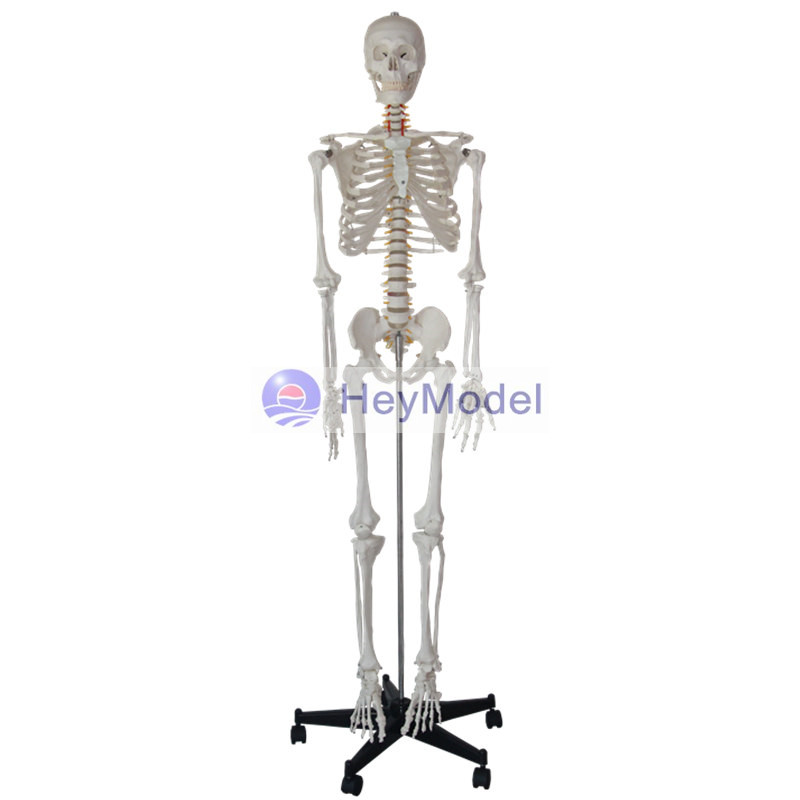 цена HeyModel Human Whole Body Bone Model Skeleton with Painted Color for Medical Use