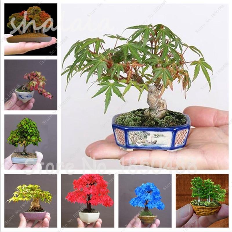 Fingertips bonsai miniature maple tree indoor plant seeds for Indoor japanese garden plants