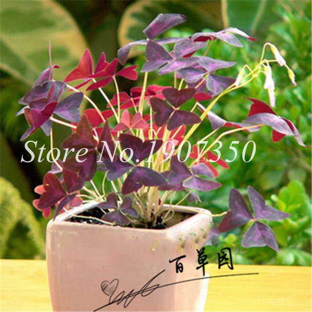 2018 New Arrival Home Garden Plant 200 Pcs Bonsai Dutch Clover Bonsai Four Leaf Clover Love Bonsai So Cute Free Shipping