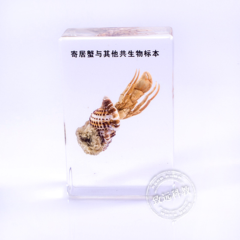 Hermit crab Specimens In Clear Lucite Block Educational Instrument Middle school biology School teaching aids fishbone fispecimens in clear lucite block educational instrument middle school biology school teaching aids