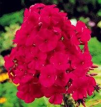 New Arrival Home Garden Plants 100 pcs Outdoor perennial PHLOX bonsai ,planting Phlox Flower plant Free Shipping 100% Genuine