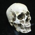 1:1 Human Skull brai...