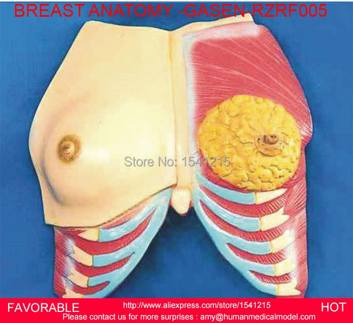 FEMAL GENITAL ANATOMICAL MODEL,ANATOMY MEDICAL,BREAST ANATOMICAL MODEL,FEMALE BREAST MODEL,BREAST ANATOMY MODEL -GASEN-RZRF005 laryngeal anatomy model throat anatomy medical anatomy model medical supplies of laryngeal structure model gasen ebh010