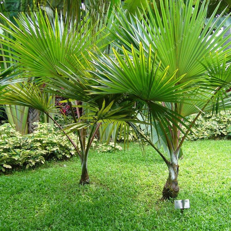 Cheap Plants That Grow Fast: ZLKING 5Pcs Chinese Palm Tree Green Rare Cheap Perennial