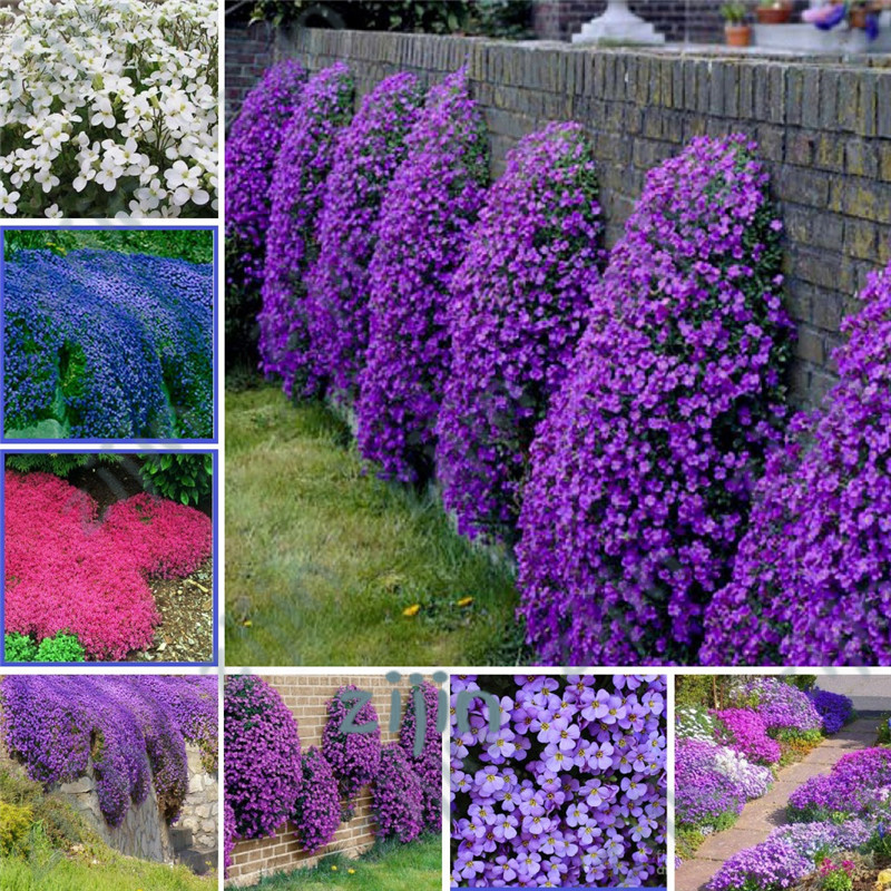 100Pcs/Bag Creeping Thyme Bonsai, Rare Color ROCK CRESS Plant Perennial Ground Cover Flower Natural Growth For Home Garden