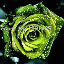 11.11 On Sale!!! Chinese Green Rose Seeds lover Golden Green Rose Seeds Strong Fragrant Garden Rose Flower 120 Seeds / bag
