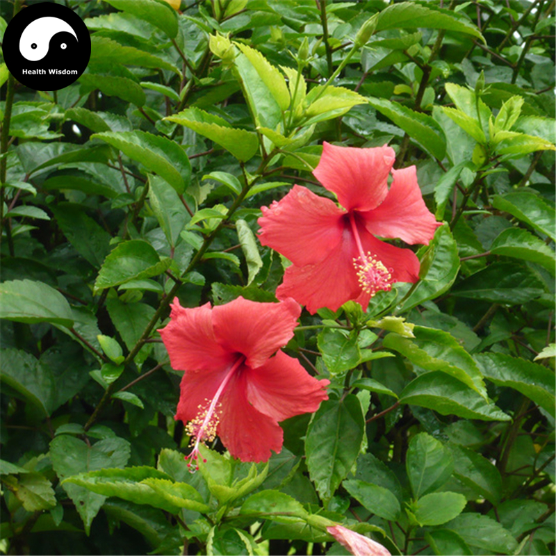 Buy China Rose Hibiscus Tree Semente 120pcs Plant Chinese