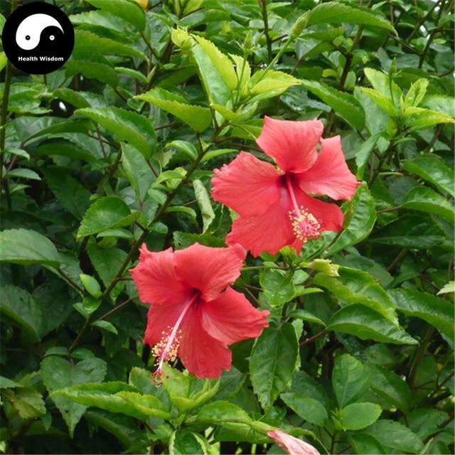 Buy China Rose Hibiscus Tree Semente 120pcs Plant Chinese Rose