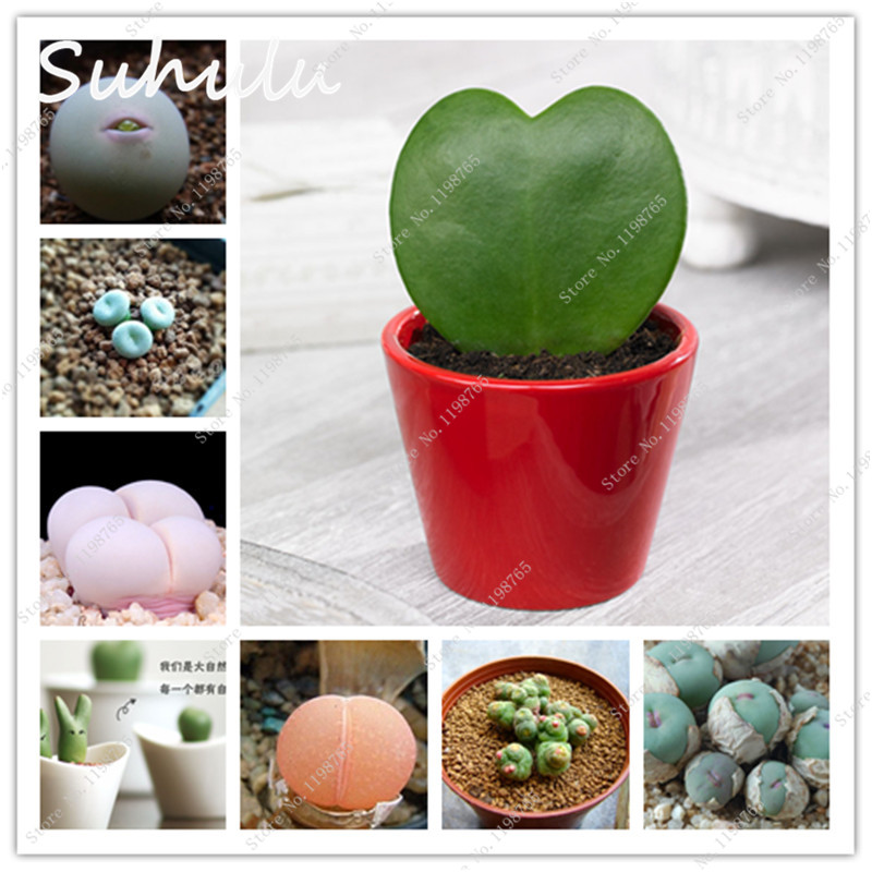 100 Pcs Succulent Seeds Rare Cactus Lithops Stone Flowers Indoor Fleshier Plant Home Garden Hardy and Very Pretty Potted Decor