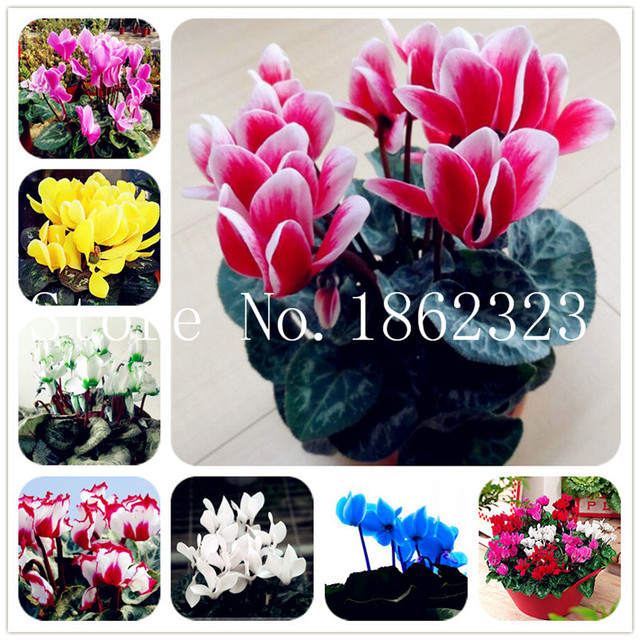 100 Pcs Cyclamen Flower Bonsai Indoor Potted Plants Perennial