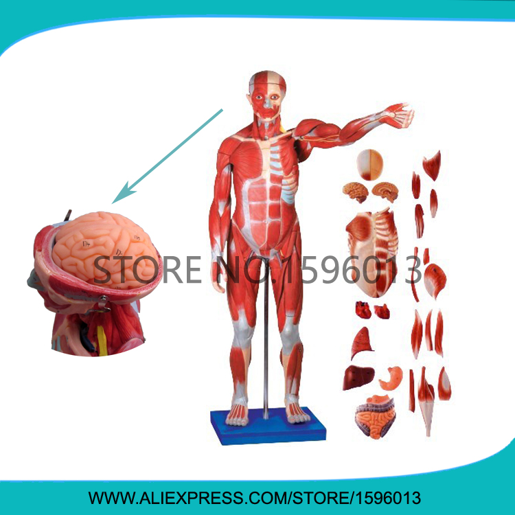 170-cm Full Body Muscles of Male with Internal Organs 27 parts,Human Muscles Anatomy Model male genital organs male genitalia anatomical model structure male reproductive organs decomposition model