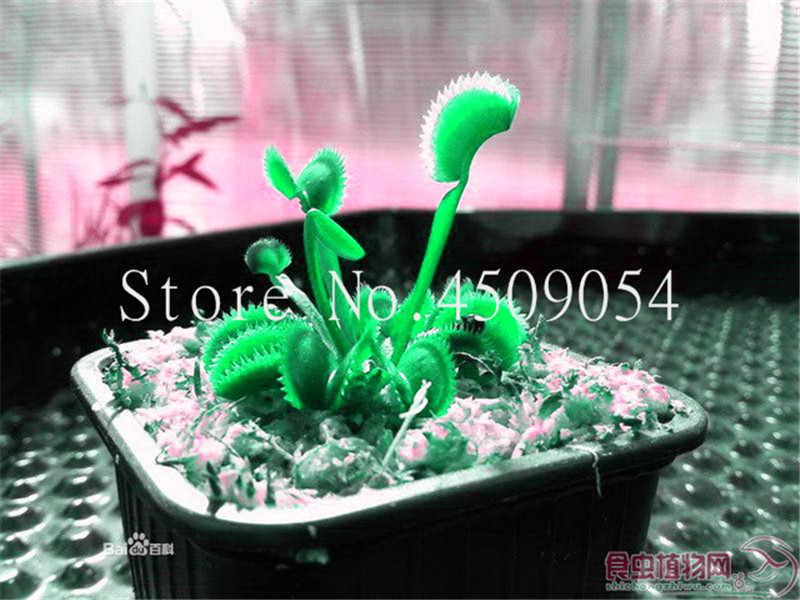 100 Pcs Potted Insectivorous Plants plants Dionaea Muscipula Giant Clip  Venus Fly trap plants Natural Growth DIY Home Planting