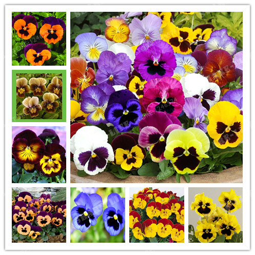 Time Limit!! 200 PCS Beautiful Pansy seeds Mix Color Wavy Viola Tricolor Flower Seed bonsai potted DIY home garden Free Shipping