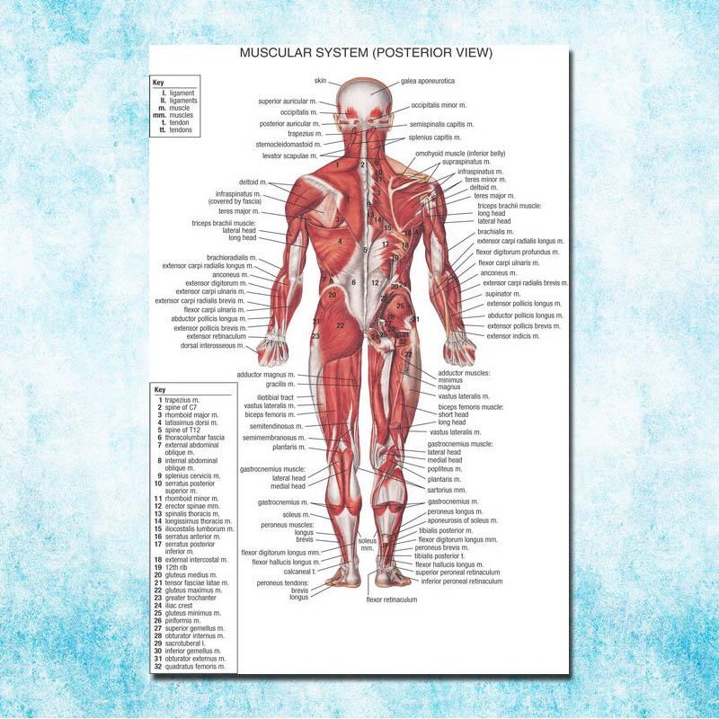 Human Anatomy Muscles System Art Silk Poster 13x20 32x48 Inch Body