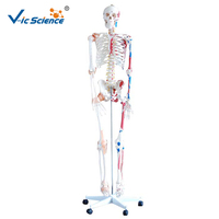 Skeleton with Muscles and Ligaments 180cm Tall human skeleton with ligament models