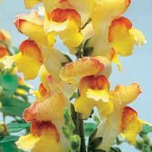 30+seeds/pack ANTIRRHINUM GIANT LIPSTICK GOLD SNAPDRAGON FLOWER SEEDS /LONG LASTING ANNUAL