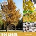 New Home jardim de 5 pcs Ginkgo Biloba sementes, Nogueira de frete grátis