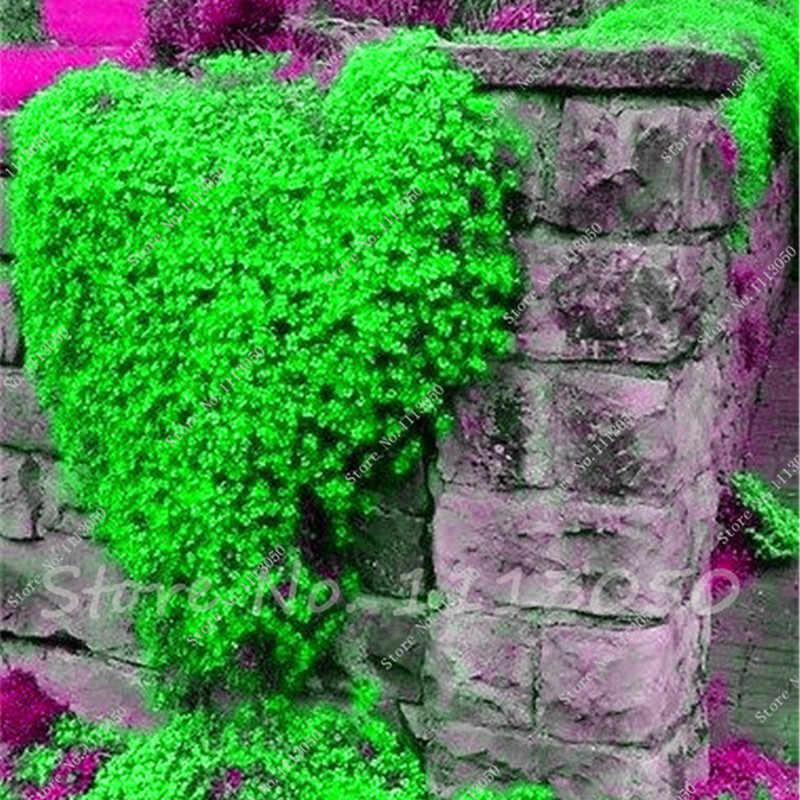 قوس قزح الزاحف الزعتر النباتات الصخور الزرقاء CRESS النباتات-المعمرة غطاء الأرض زهرة ، النمو الطبيعي لحديقة المنزل 200 قطعة/الحقيبة