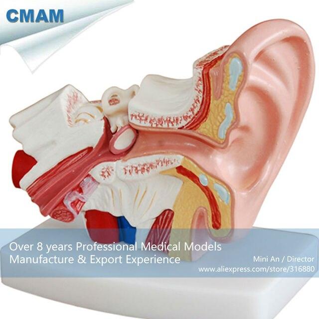 CMAM EAR01 Wirtschafts typ Desktop Ohr Modell, 1,5 mal vergrößern ...