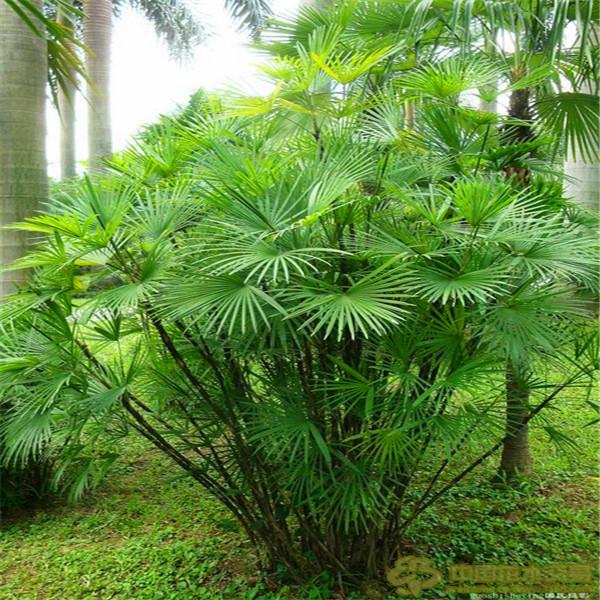 venta caliente palm seeds inicio jardinera de bamb al por mayor unidslote