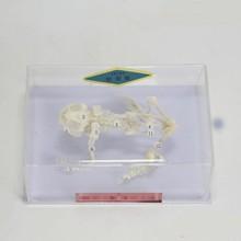 Лягушка скелетные образцы змея образовательная модель скелета оборудование обучающая модель