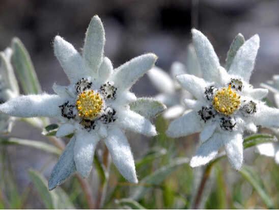 輸入盆栽、 20 ピース/ロットエーデルワイス (Leontopodium alpinum) 盆栽の花の盆栽盆栽植物の diy 家庭菜園