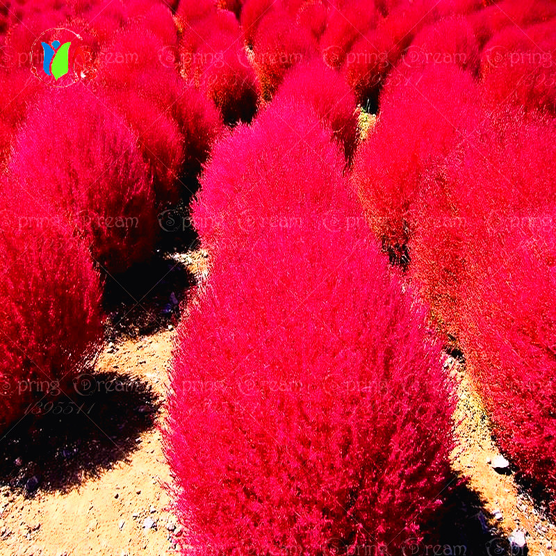 Grass seeds Perennial 300pcs Grass Burning Bush Kochia Scoparia Seeds Red Garden Ornamental easy grow