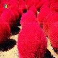 Semillas de hierba Perenne 300 unids Hierba Semillas Scoparia Kochia Zarza Ardiente Rojo Jardín Ornamental fácil crecer