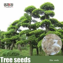 100pcs Elm tree seeds, Chinese tree Seed
