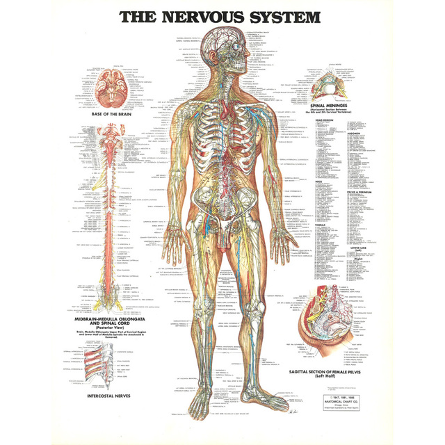 J0872 Human Body Structure Anatomy Chart Pop 14x21 24x36 Inches Silk