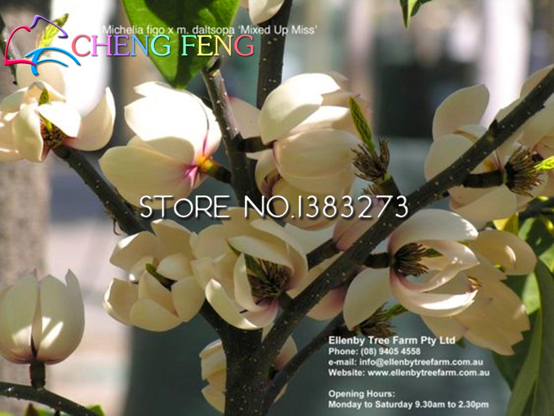Photos List & Hot Sale 30 Pcs Pink Magnolia Seeds Rare Japan Magnolia Flowers ...