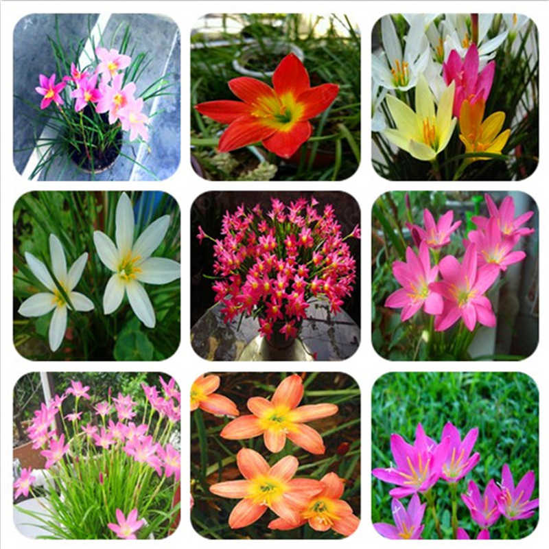 500 pcs mixed Zephyranthes Candida Bonsai lily flower  indoor bonsai plants,Easy planting balcony potted flowers for garden