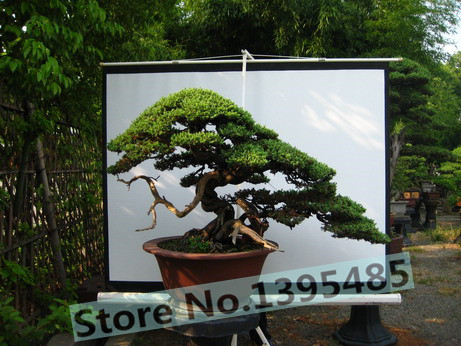30pcs Cypress trees Platycladus orientalis oriental arborvitae seeds Conifer seeds bonsai seeds for DIY home garden