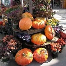 Marseed Grow Heirloom 50 Pumpkin Vegetable Seeds Impressive Rustic Garden