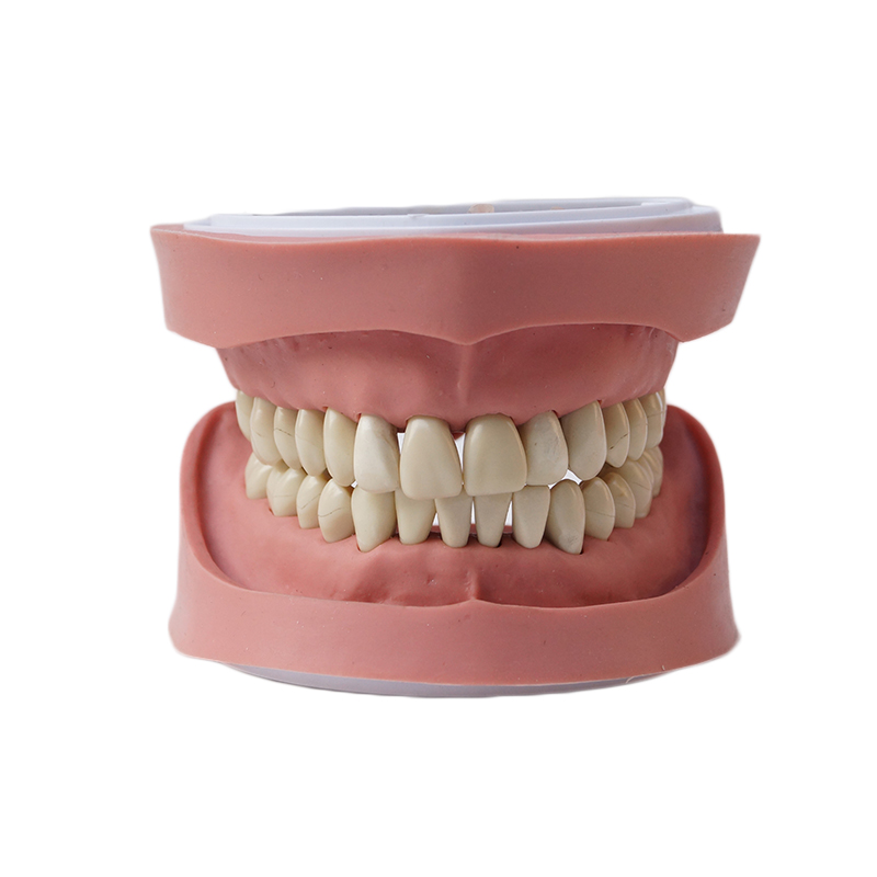 Dentures Dental teaching model tooth model Standard K Study Model photodynamic disinfection of dental impressions and dentures