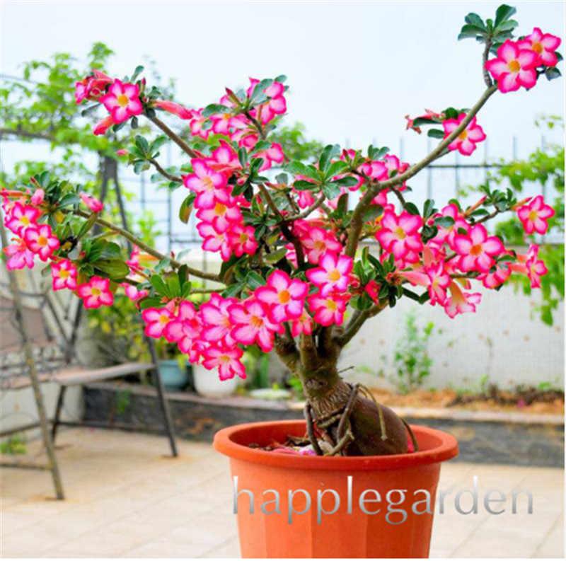 Adenium Wholesale India