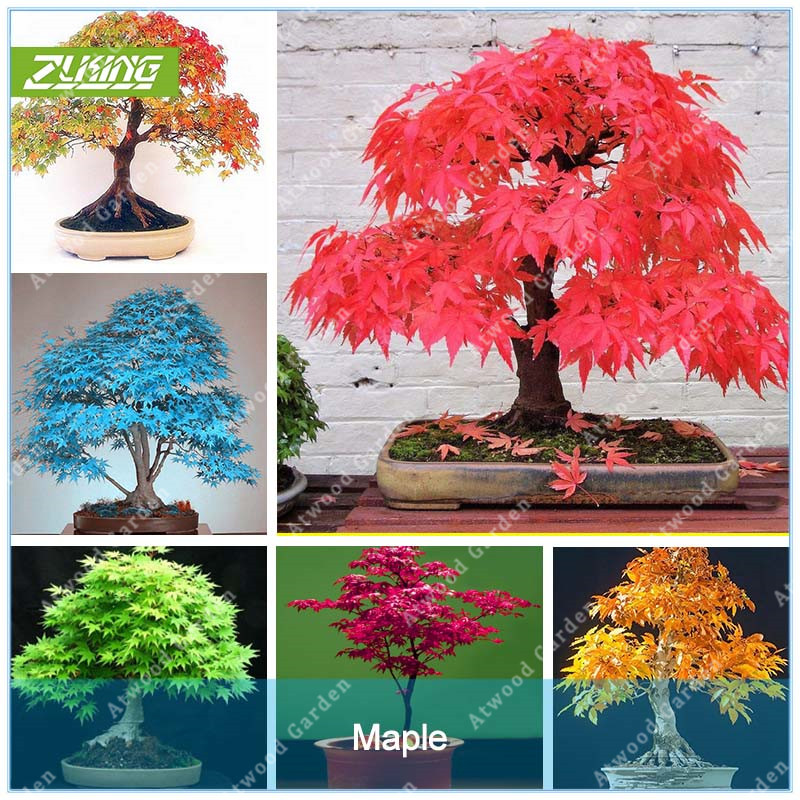 ZLKING 20 Pcs Blue Fire Maple Tree font b Seeds b font Bonsai Tree font b