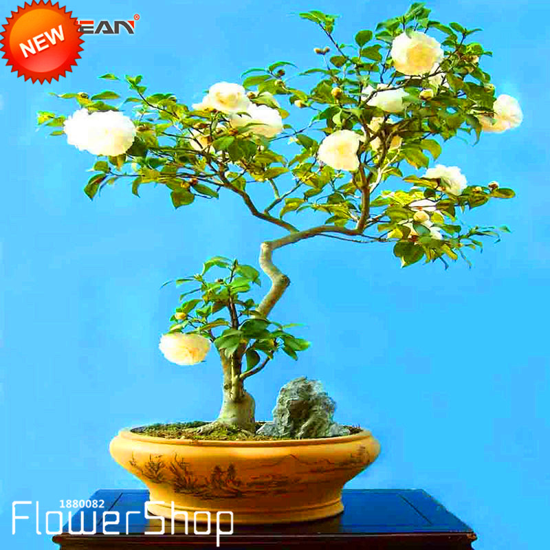 Flower Seed Potted Seed New Arrival!! Germination Rate 95/%+, 10 pcs//Bag,Dracaena Seeds Mixe Bonsai Seeds Garden Plant