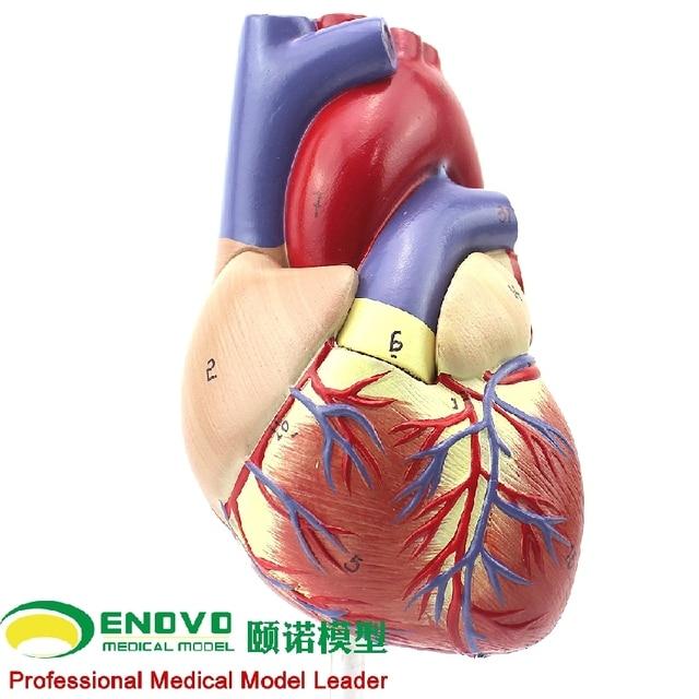 1: 1 human heart model B ultrasound color ultrasound cardiac ...