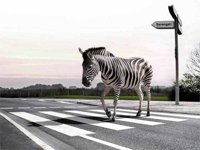 Zebra on the zebra crossing black and white animal poster home decor zebra on the zebra crossing black and white animal poster home decor canvas printed 4 sizes altavistaventures Images