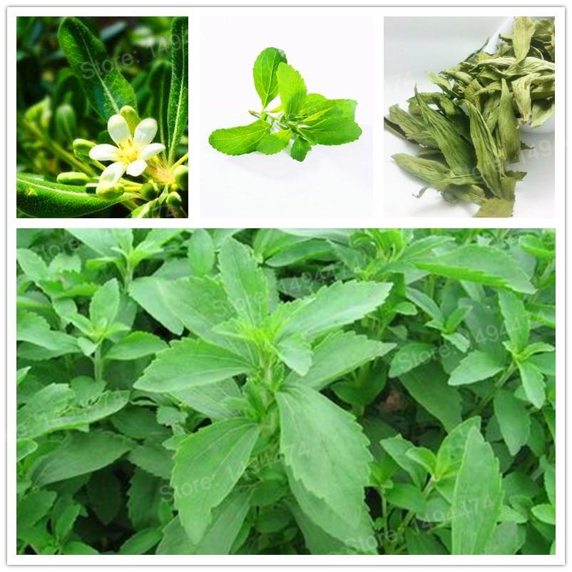 1000 pc'er / taske stevia flores stevia urter plantas bonsai plante plante grønne stevia urter rebaudiana semillas til haveplantning