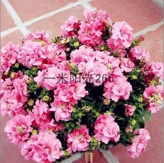 Livraison gratuite Pan-américain n 035 fleur de pétunia pétales double  cascade doux Rose graines de fleurs-120 pcs dbcda57a34f