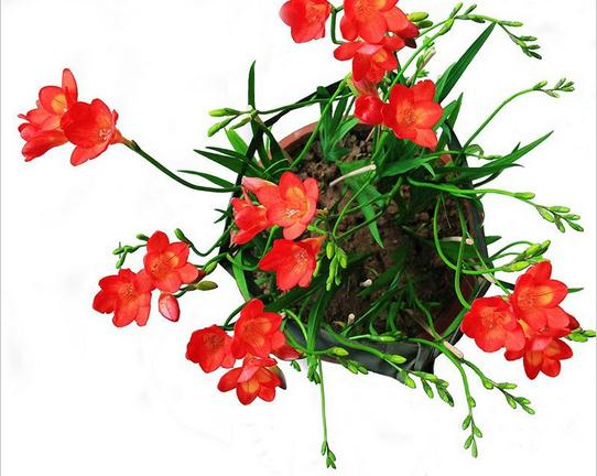 2016 Top Fashion Hot Sale Very Easy Sementes 20 Pcs 5 Kinds Seeds Freesia Flower Pot Garden Terrace Perennial 50 Pieces / Bag