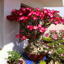 2 seeds/pack Bonsai Flowers New Absorption of Formaldehyde Colorful Desert Rose Seeds adenium obesum seed 100% Genuine