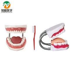 BX-HY 5 Times Medical Dental Nursing Model Dental Models For Teaching Dental Training Dental Material W002