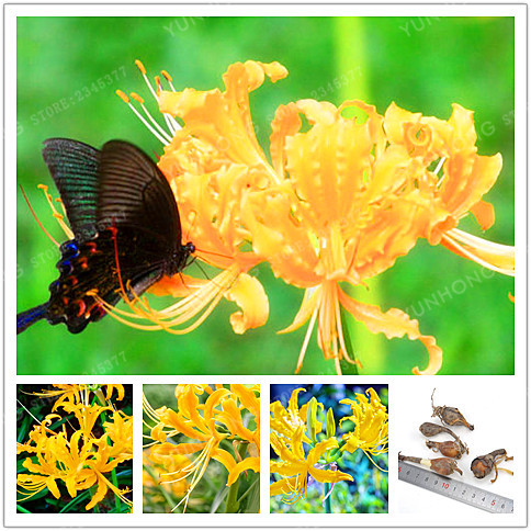 2Pcs/ Yellow Rare High Survival Lycoris Radiata Bulbs Potted Bonsai Palnt Perennial Planting Flower for Home Garden (Not Seeds)
